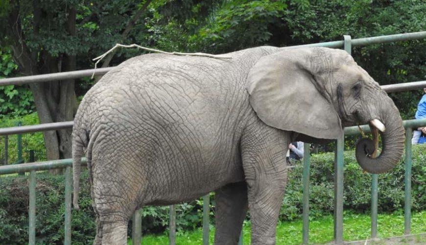 Słoń afrykański w oliwskim ZOO