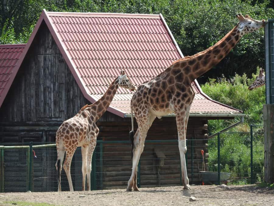Oliwskie żyrafy