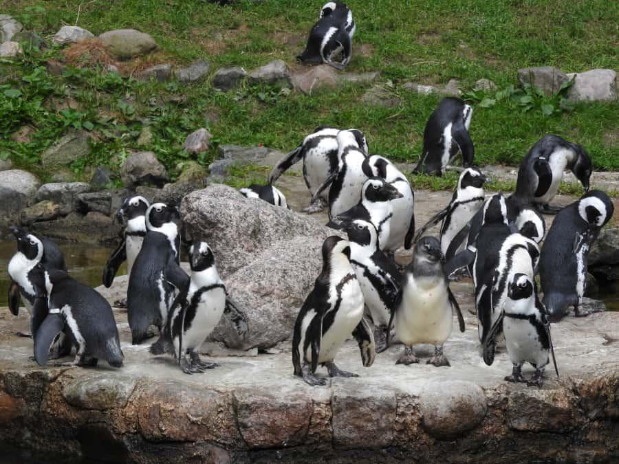 Pingwiny tońce w oliwskim ZOO
