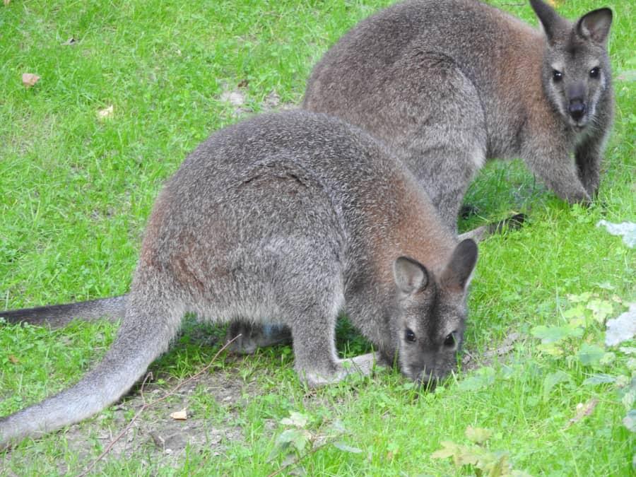 kangury rdzawoszyje